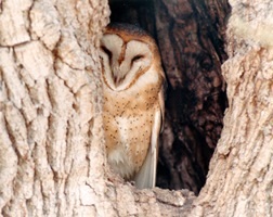 Backyard Habitat - Owl